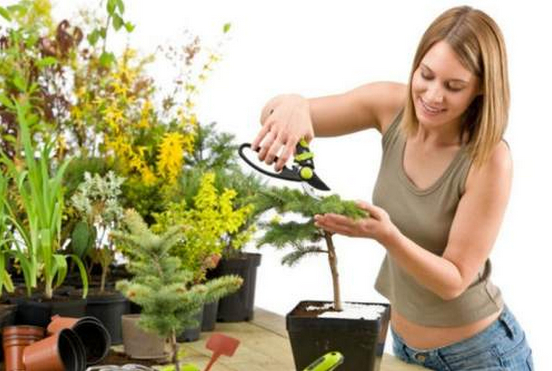 Комнатные хвойные растения: фото с названиями, уход в домашних условиях
