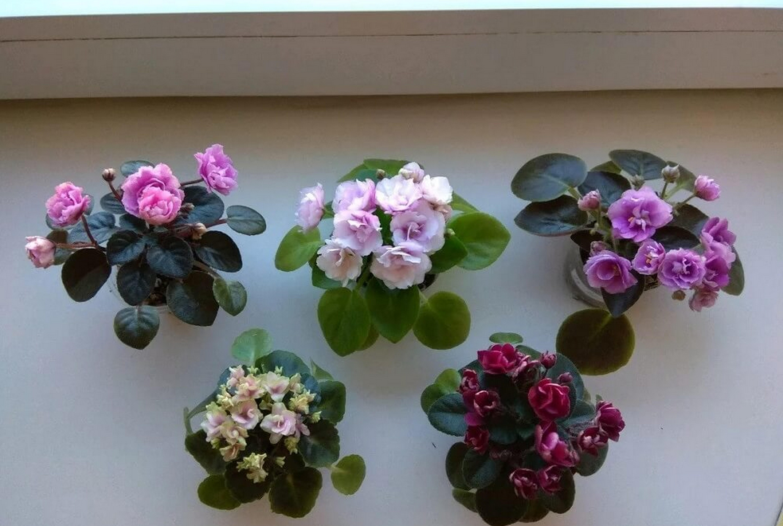 Названия сортов фиалок: с белыми листьями, с зеленой или белой каймой, махровые
