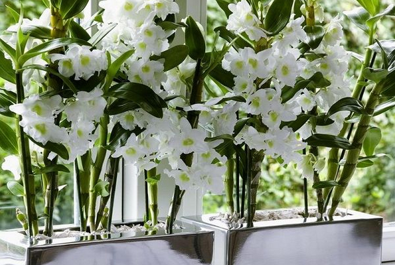 Орхидея дендробиум фаленопсис: описание цветка, уход в домашних условиях, способы размножения