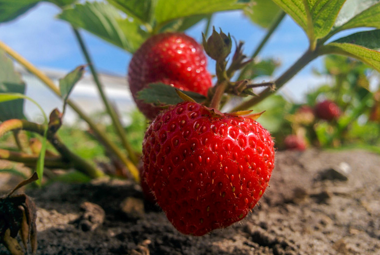 Правильный уход за клубникой после плодоношения
