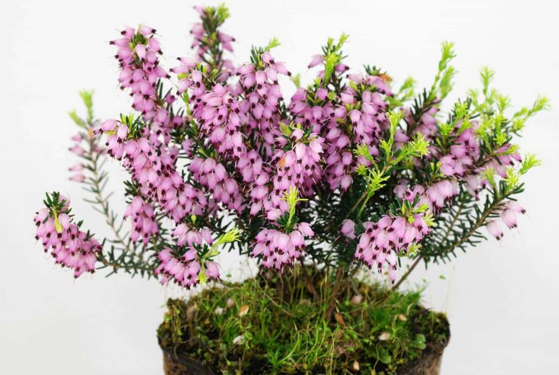 Растение эрика: посадка и уход, описание и фото