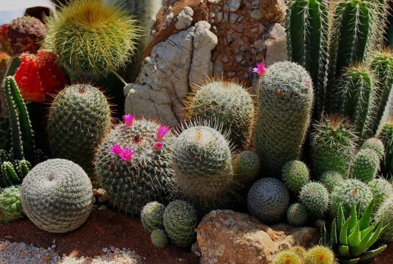 Родина кактусов: откуда они попали на наши подоконники?