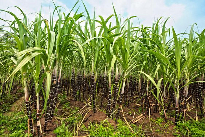 Сахарный тростник (Saccharum officinarum) — описание, выращивание