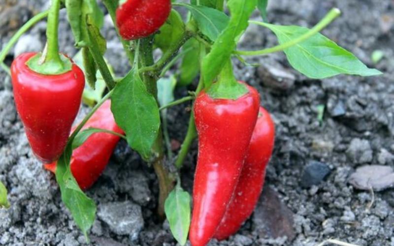 семена перца визирь