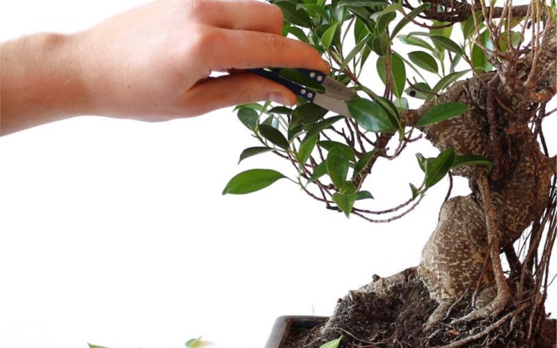 Фикус микрокарпа (бонсай): уход и размножение в домашних условиях, фото