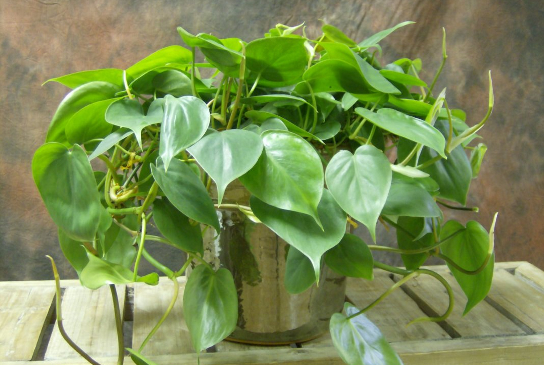 Филодендрон домашний — фото, уход, размножение цветка, выращивание из семян, описание