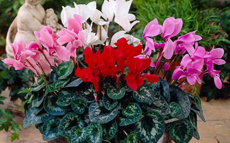 Цикламен в домашних условиях — советы по выращиванию