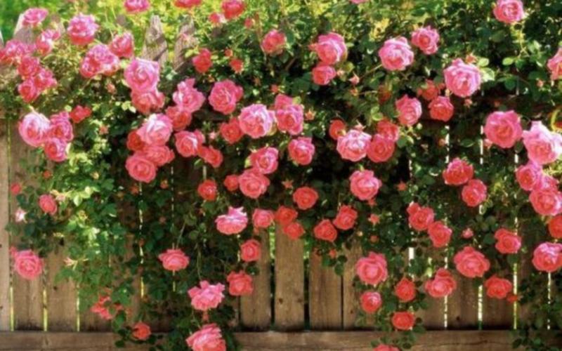 Чайная роза: фото как цветет, уход в саду, почему так называется, как выглядит, выращивание комнатной дома, посадка