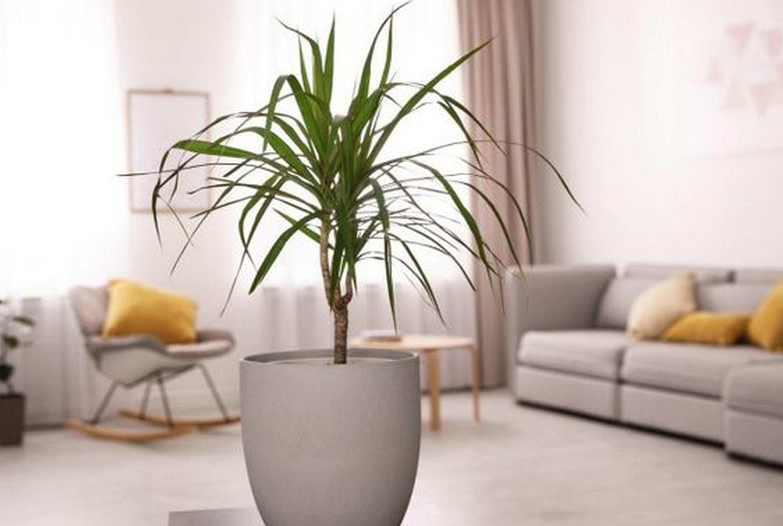 Как обрезать драцену высокую и не только: можно ли это делать в домашних условиях, как правильно сформировать и обновить верхушку, какой уход нужен пальме?